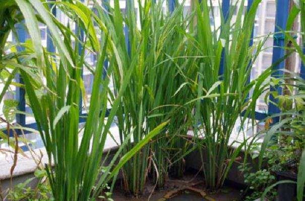 水稻盆栽成熟期土壤中镉形态分布 图片
