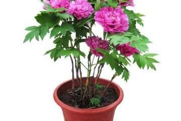 氮水平对盆栽芍药生长发育及氮代谢的影响