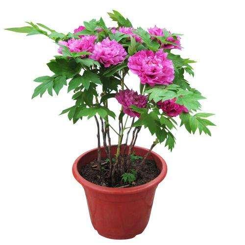 不同施氮对盆栽芍药的双因素方差分析