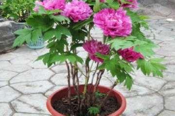 滇西牡丹盆栽怎么栽培的环境条件 图片