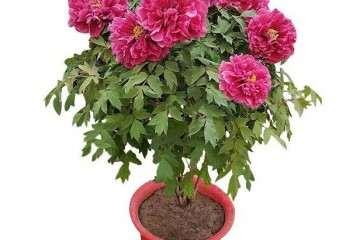 牡丹盆栽怎么选择品种和容器的方法 图片