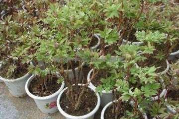 牡丹盆栽怎么上盆栽植的方法 图片