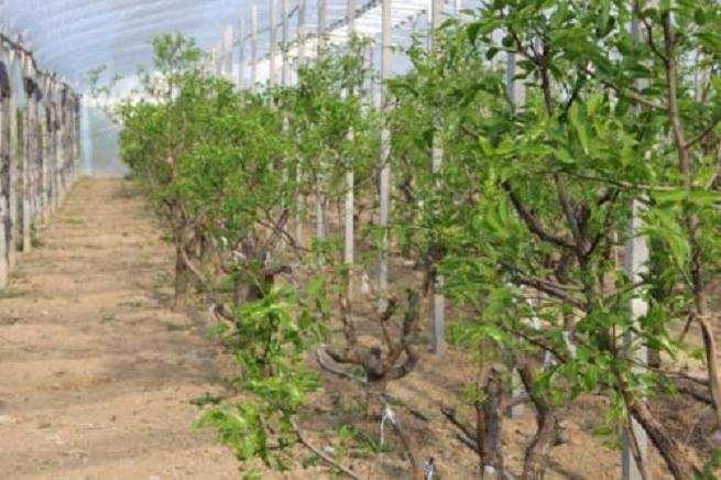 冬枣盆栽模拟科学施肥配比研究 图片