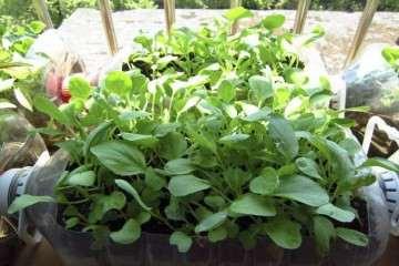 盆栽叶菜怎么栽培管理的方法 图片