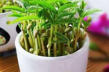 盆栽叶菜怎么施肥的3个方法 图片