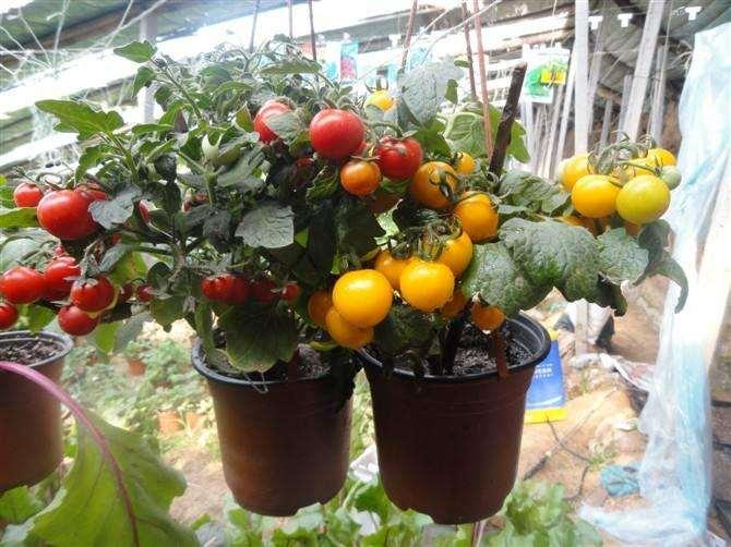 叶菜盆栽怎么播种定植的方法 图片
