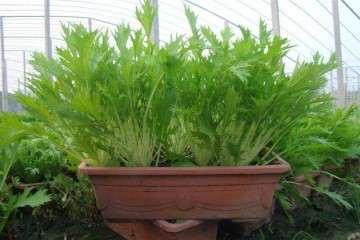 盆栽速生叶菜什么时候适时采收 图片