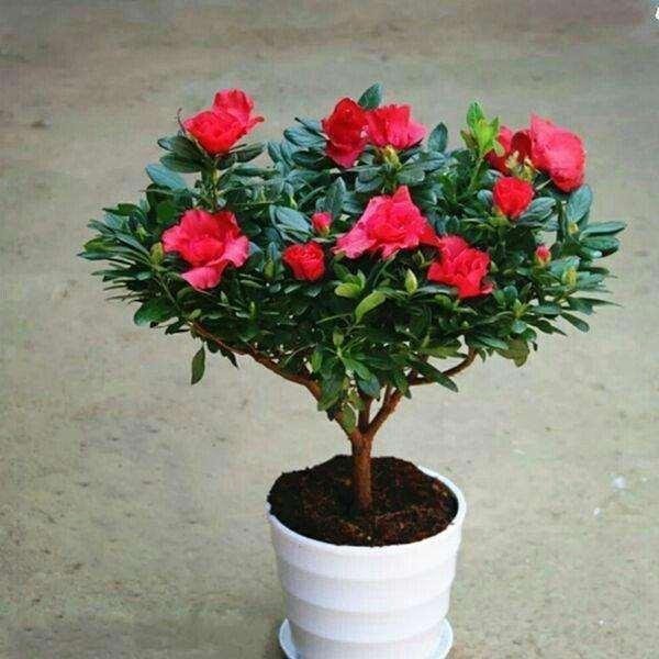 杜鹃花盆栽怎么扦插繁殖的方法 图片