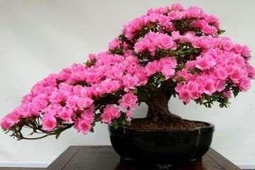 杜鹃花盆栽怎么播种繁殖的方法 图片