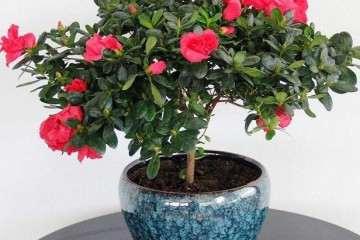 杜鹃盆栽怎么播种繁殖的方法 图片
