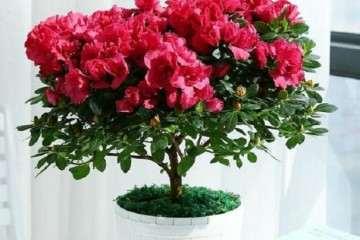 夏季 杜鹃盆栽怎么浇水的方法 图片