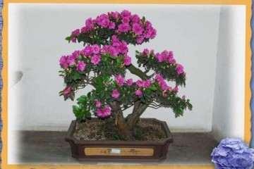 杜鹃花盆栽怎么施肥的方法 图片