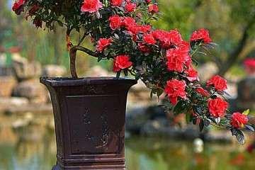 杜鹃花盆栽怎么压条繁殖的方法 图片