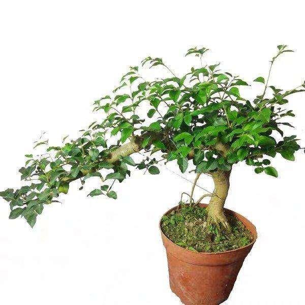 多效唑对女贞盆栽土壤含水量的影响
