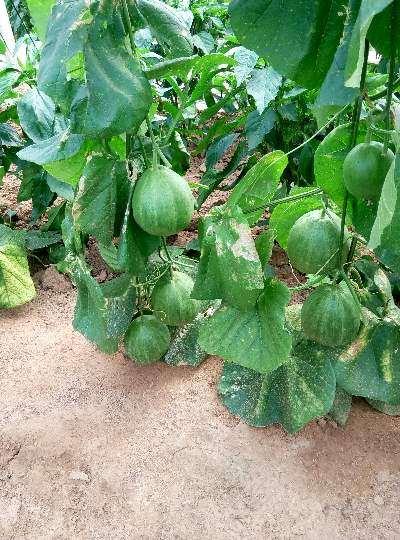 甜瓜盆栽防效测定结果怎么养 图片
