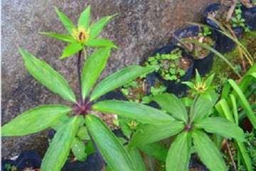 推荐5种中草药养生盆栽 非常好 图片