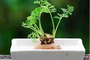 樱桃萝卜盆栽发芽情况和生长指标的测定
