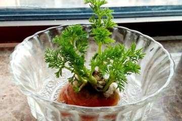 腐殖酸对盆栽萝卜发芽和生长的影响