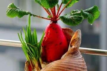 腐殖酸施用方式对萝卜盆栽质量的影响