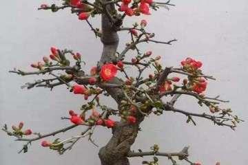 海棠盆栽矮化中间怎么砧嫁接培育 图片