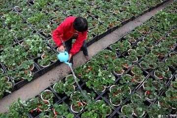 枣庄农民靠种植草莓盆景致富 图片