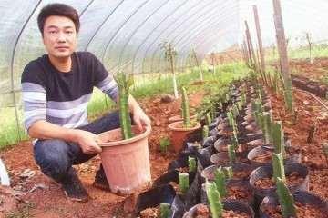 泸州卖火龙果盆景年收入2万元 图片