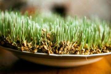 不同纤维素处理对小麦盆栽生长的影响