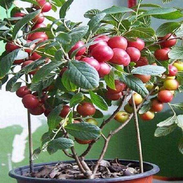 钙果欧李盆栽怎么上盆栽种的技术