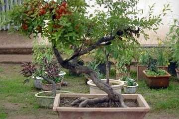 钙果盆栽怎么整形修剪的方法 图片