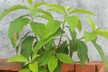 为什么艾纳香盆栽耐旱性较差 图片