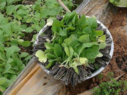 高氯灌溉水对盆栽烤烟氯吸收和分配的影响
