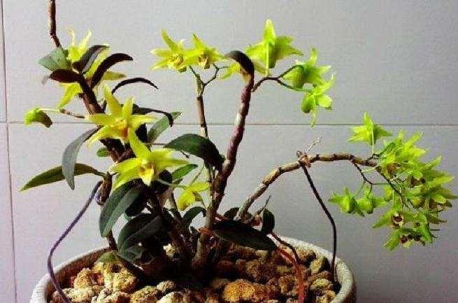 鼓槌石斛盆栽怎么扦插繁殖的方法 图片