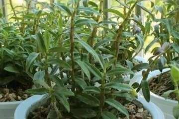 鼓槌石斛盆栽怎么浇水管理的方法 图片
