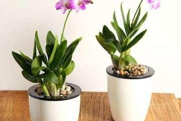 鼓槌石斛盆栽怎么换盆的方法 图片