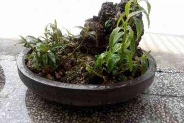 石斛盆栽怎么虫害防治的方法 图片