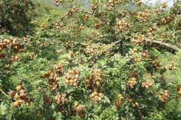 刺梨盆栽有什么价值可以利用 图片