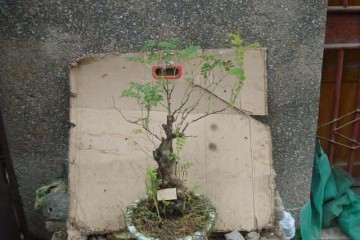 刺梨盆栽怎么选择品种的方法 图片