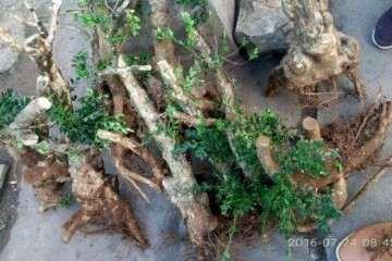 刺梨盆栽怎么扦插播种的方法 图片