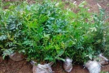 刺梨盆栽的盆器选择及盆土配制 图片