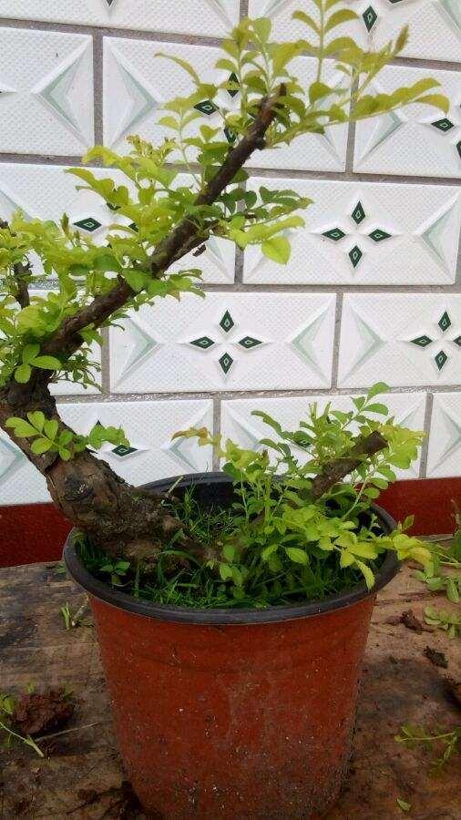 刺梨盆栽怎么上盆栽植的方法 图片