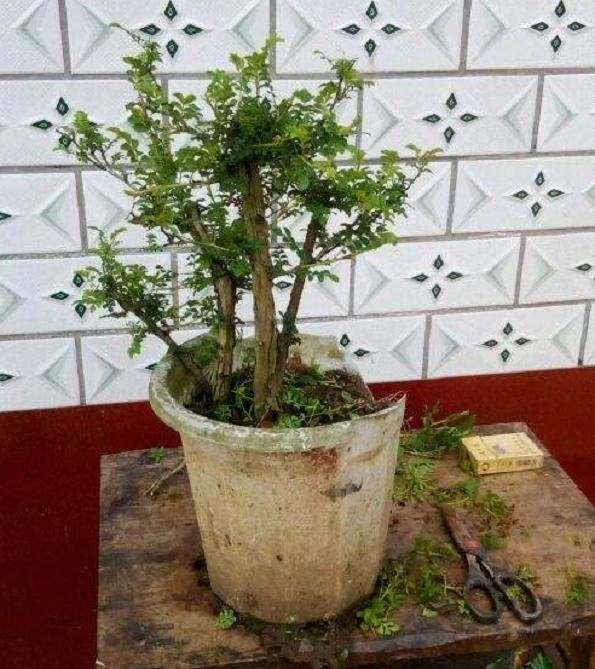盆栽刺梨怎么浇水光照的方法 图片