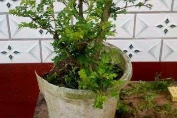 盆栽刺梨怎么定植修剪的方法 图片
