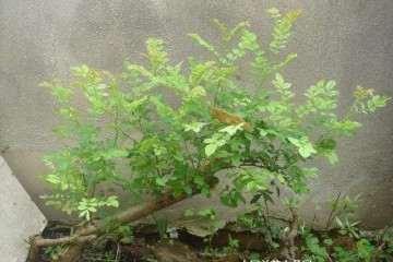 刺梨盆栽病虫害怎么防治的方法 图片