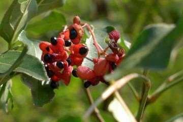 野鸦椿盆栽怎么病虫害防治与翻盆 图片