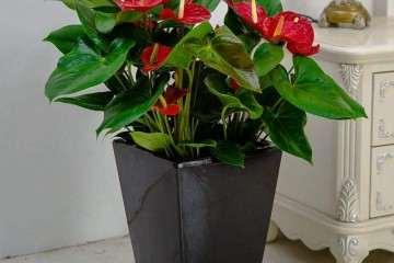 广州花卉中心合育成盆栽红掌新品种