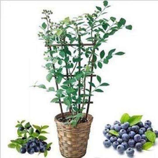蓝莓盆栽怎么摆放的方法 图片