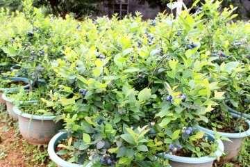 盆栽蓝莓怎么施肥的方法 图片