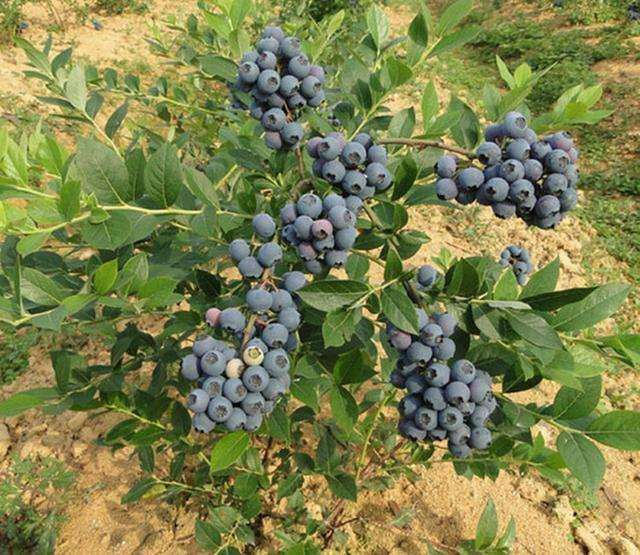 蓝莓盆栽怎么疏果管理的方法 图片