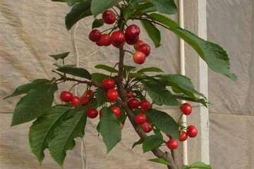 樱桃盆栽怎么整枝及肥水管理 图片