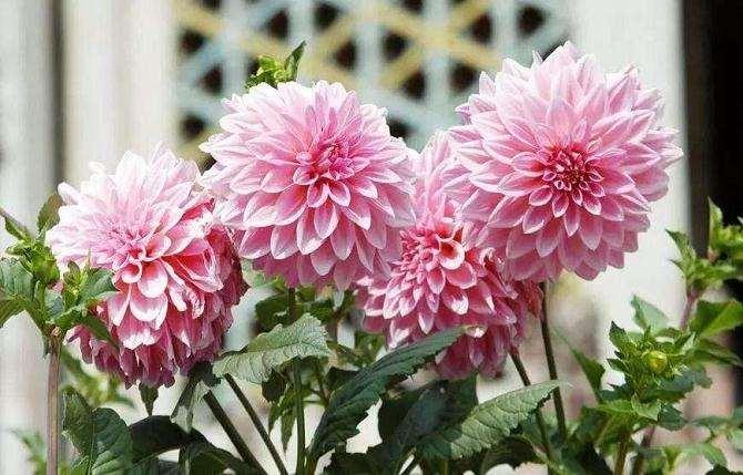 大丽花盆栽物候期的观察 图片